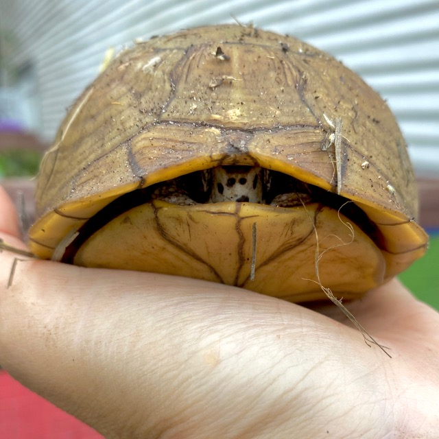 box turtle closes up shell