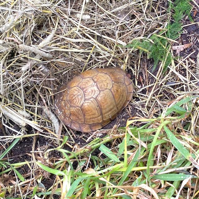 brumating box turtle