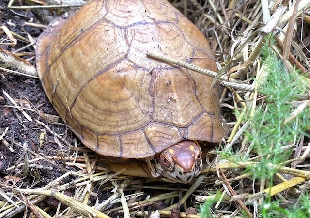 box turtle coming out of brumation