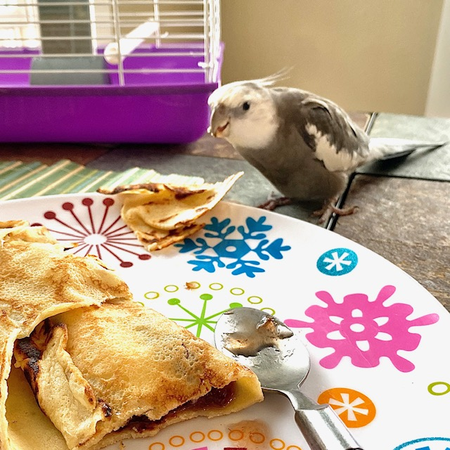 cockatiel eats off plate
