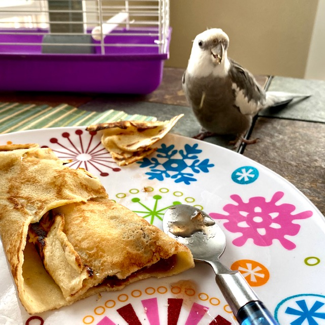 cockatiel eats off a plate