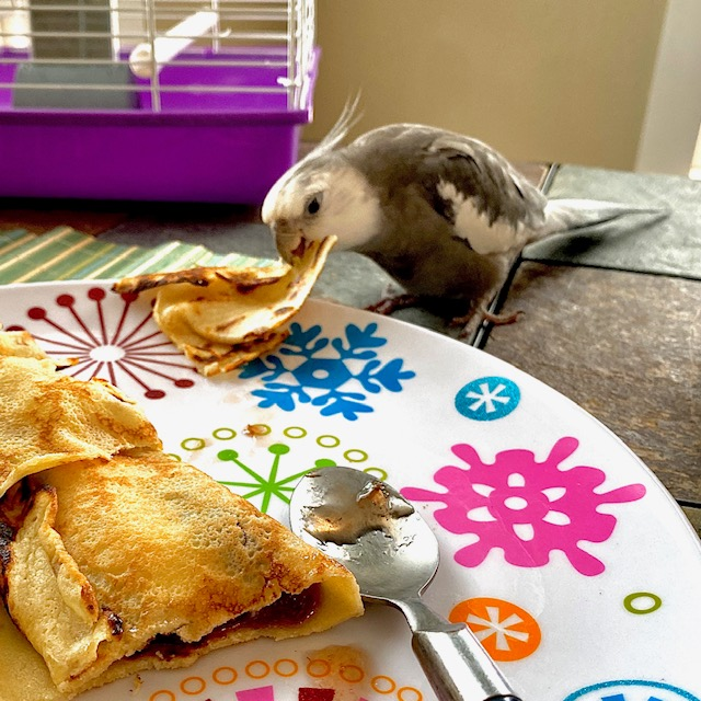 cockatiel eats from plate