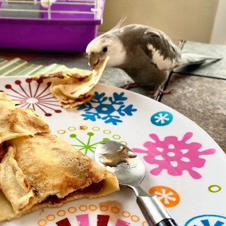 cockatiel eats crepe