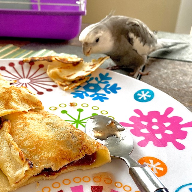 cockatiel eats from people's plate
