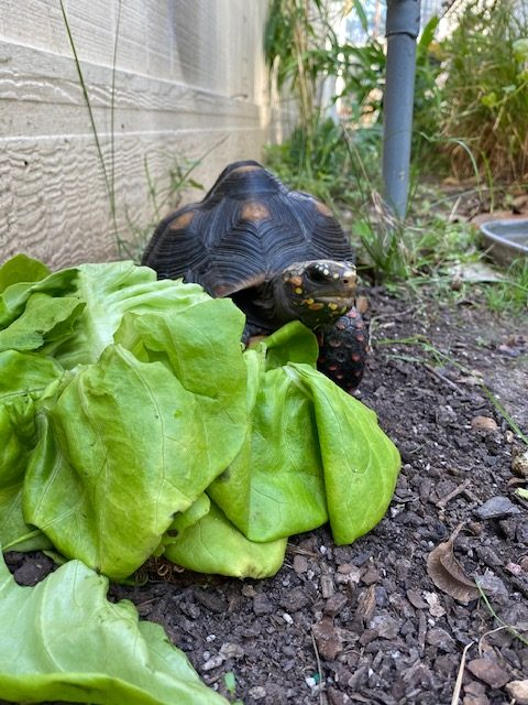 redfoot tortoise spies a lettuce