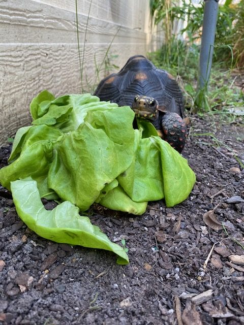 tortoise stares at large lettuce
