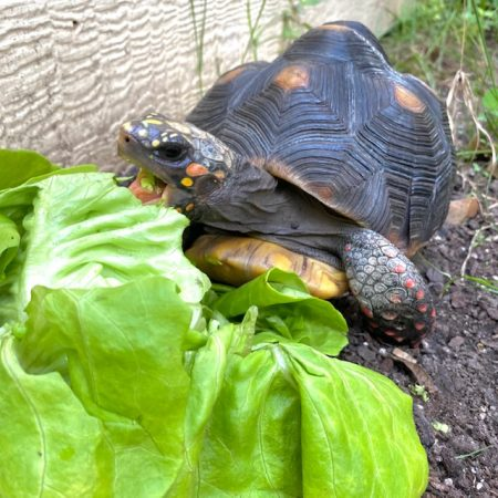 Tortoise eats lettuce in the garden