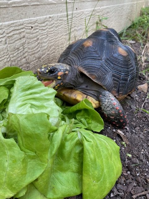 tortoise in the garden