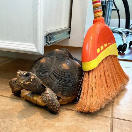 tortoise sits beside broom