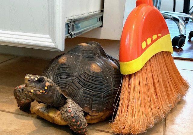 tortoise sits beside broom
