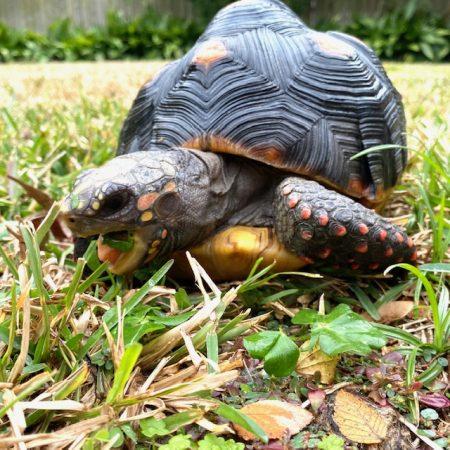 tortoise eats clover