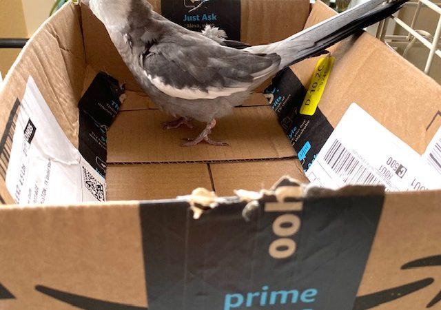 cockatiel nests in amazon box