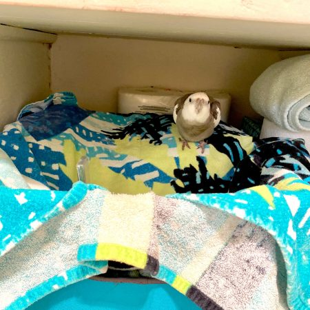 cockatiel nests in towel basket