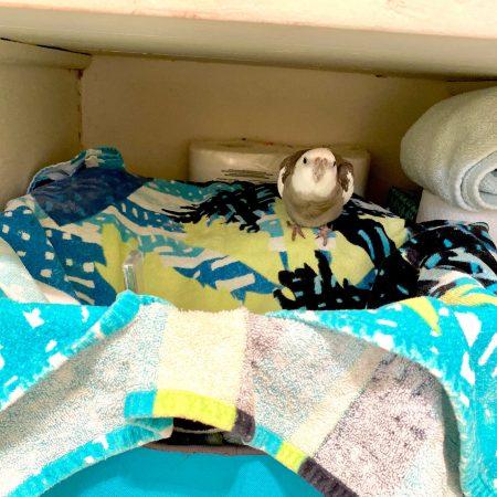 cockatiel nests in towel basket