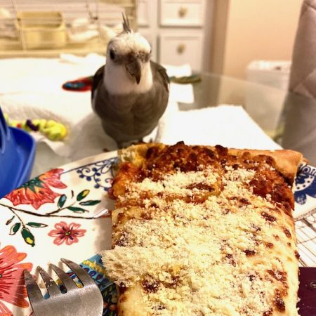 cockatiel eats pizza off a plate