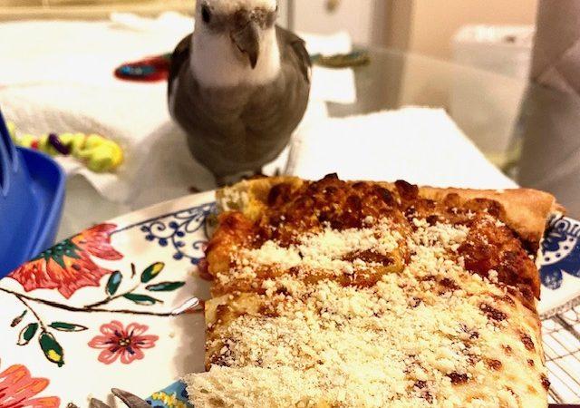 cockatiel eats pizza off a plate