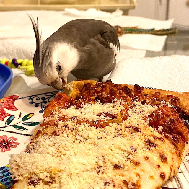 cockatiel eats big piece of pizza