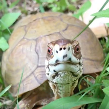 adult male box turtle
