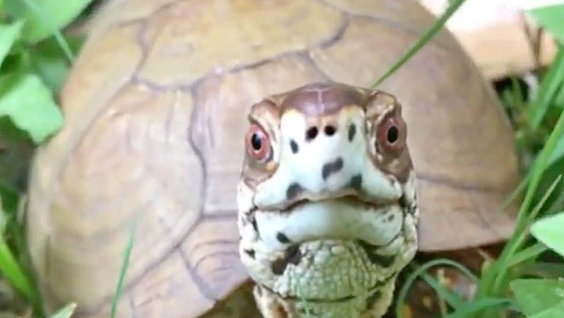 adult male box turtle
