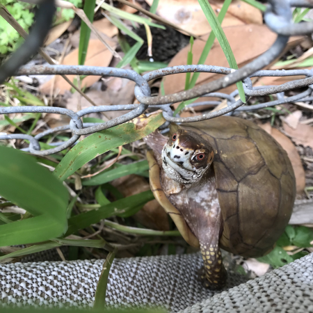 box turtle climbs up fence