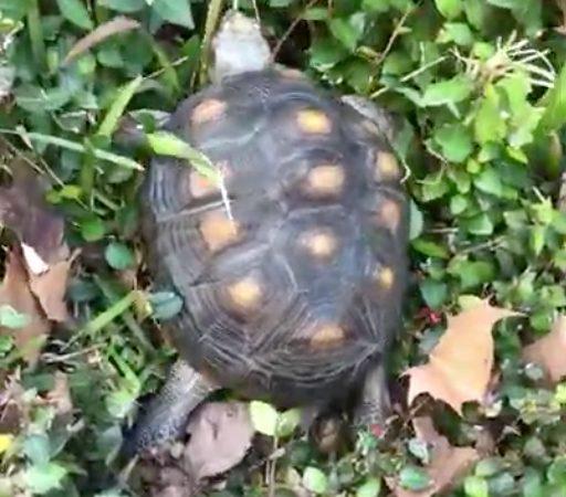 redfoot tortoise climbs