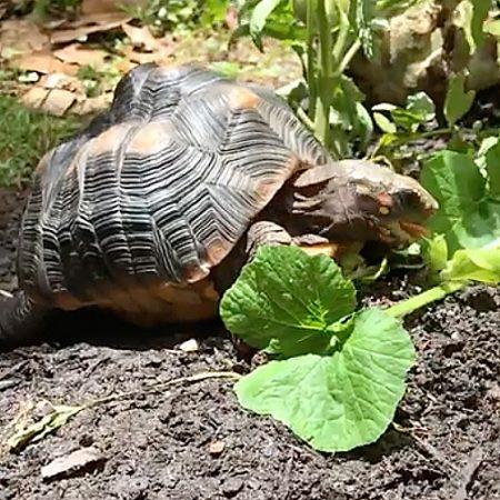 redfoot tortoise eats zucchini plant