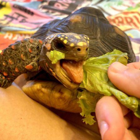 redfoot tortoise eats lettuce