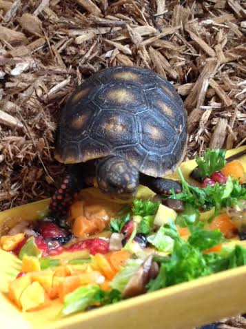 redfoot tortoise hatchling menu