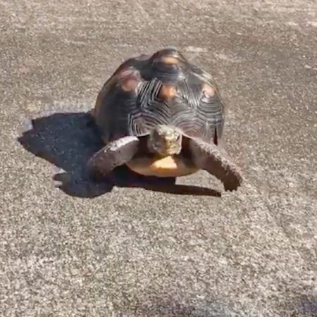 redfoot tortoise walking