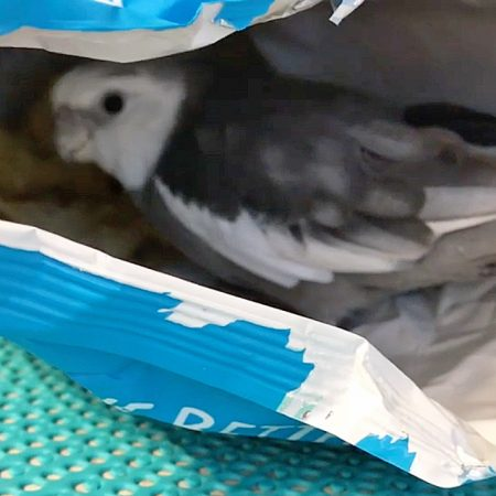 cockatiel in bag of chips love and feathers