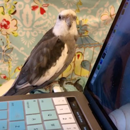 cockatiel sits on laptop love and feathers
