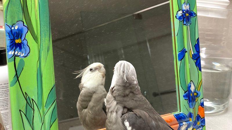 cockatiel looks in mirror