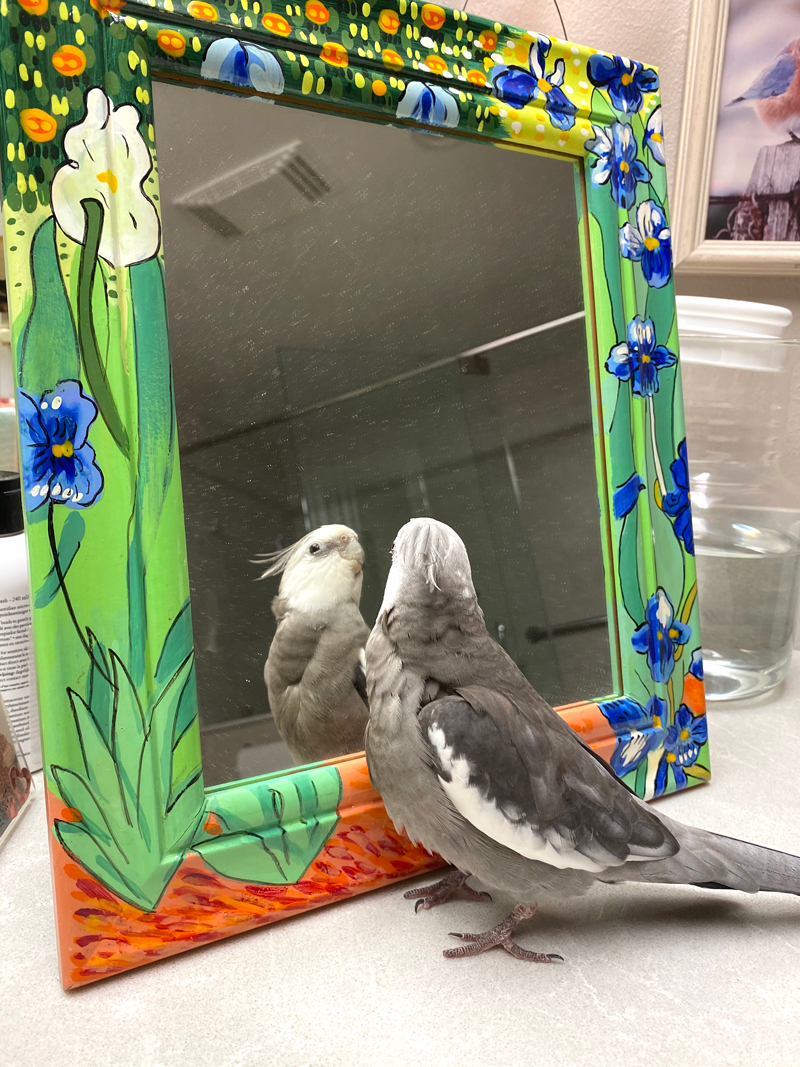 cockatiel looks in mirror