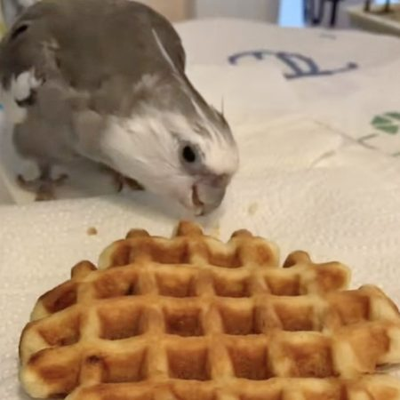cockatiel eats waffle love and feathers