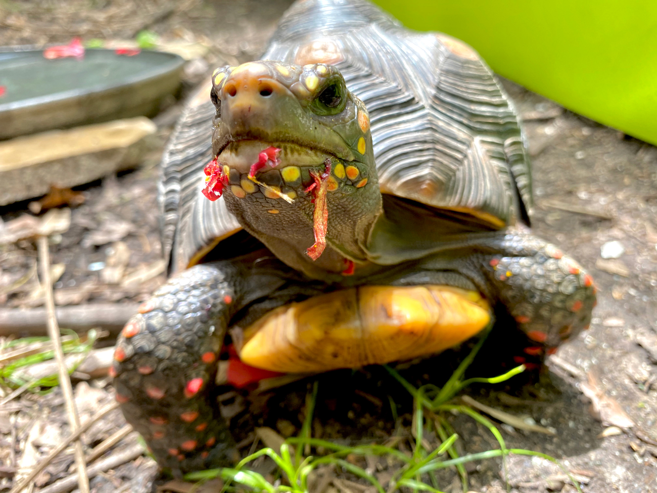 redfoot tortoise eats hibiscus