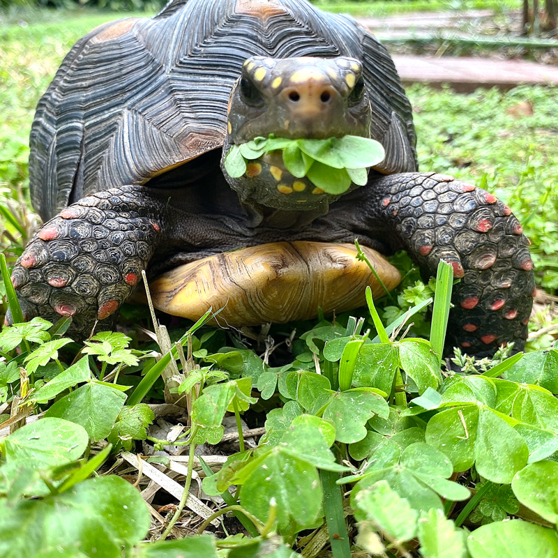 redfoot tortoise munches clover