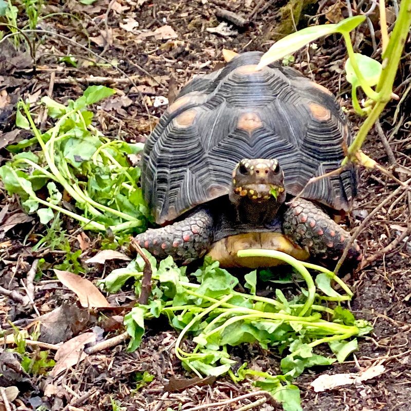 redfoot tortoise outside