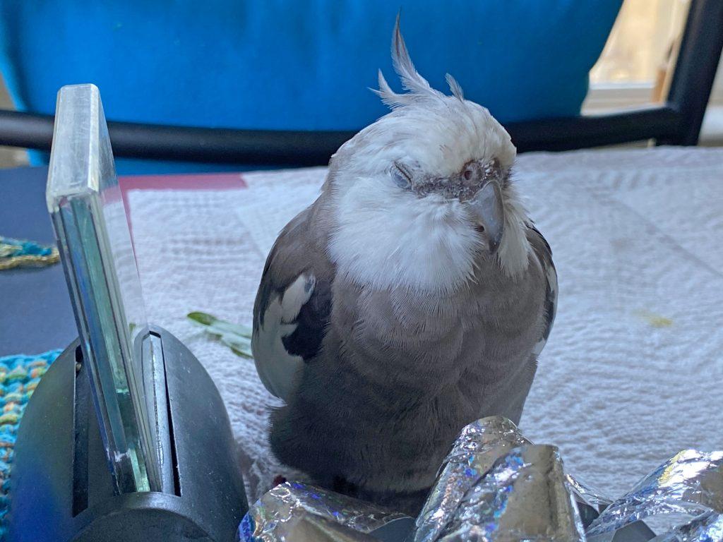 cockatiel sleeping