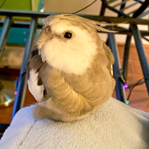 cockatiel sitting