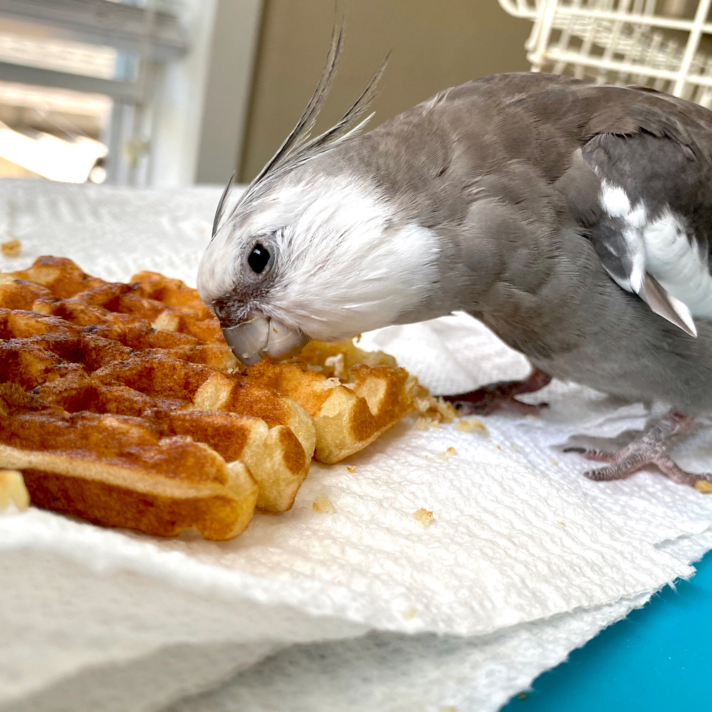 cockatiel eating waffle