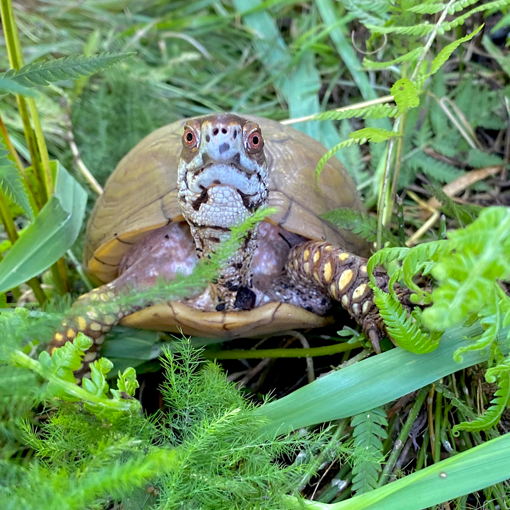 box turtle in deep forest habitat