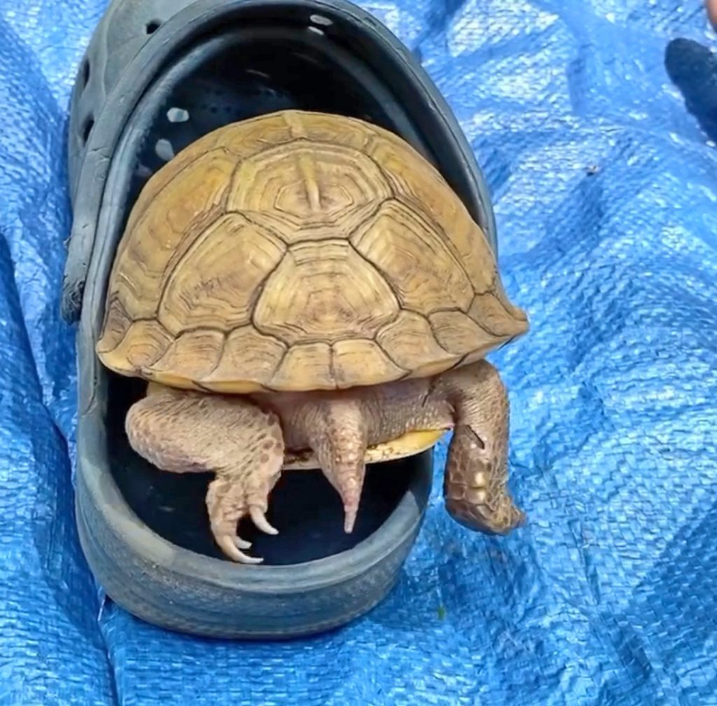 box turtle hides in Crocs sandal