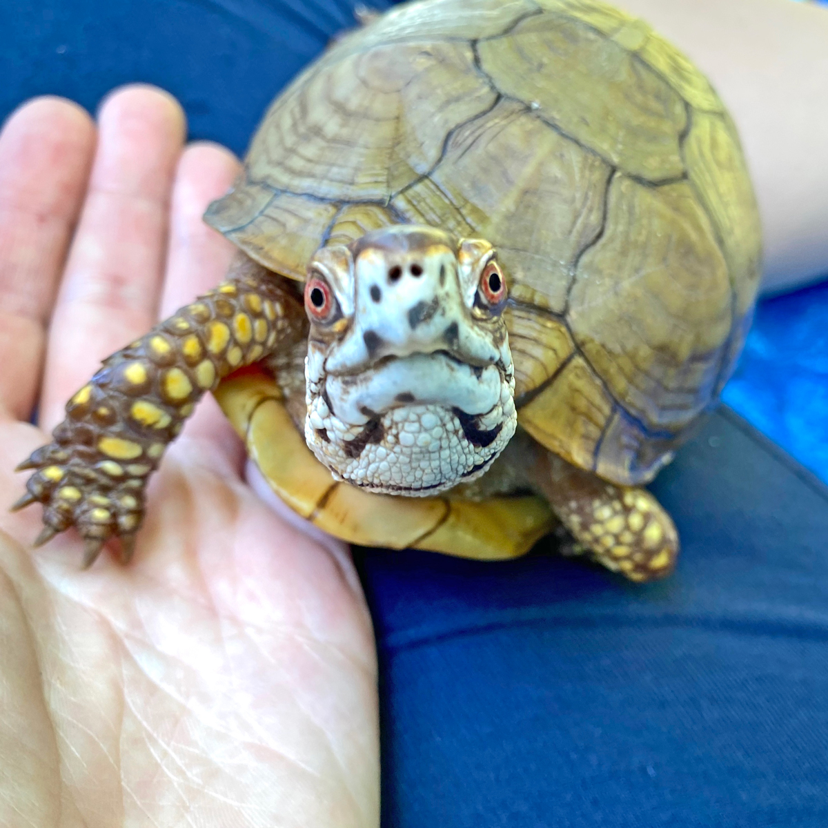 3-toed box turtle with rescue mom