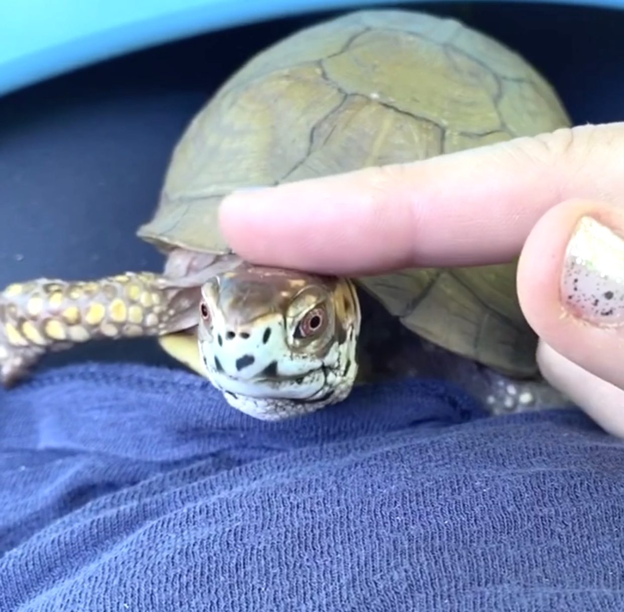 box turtle gets head pats