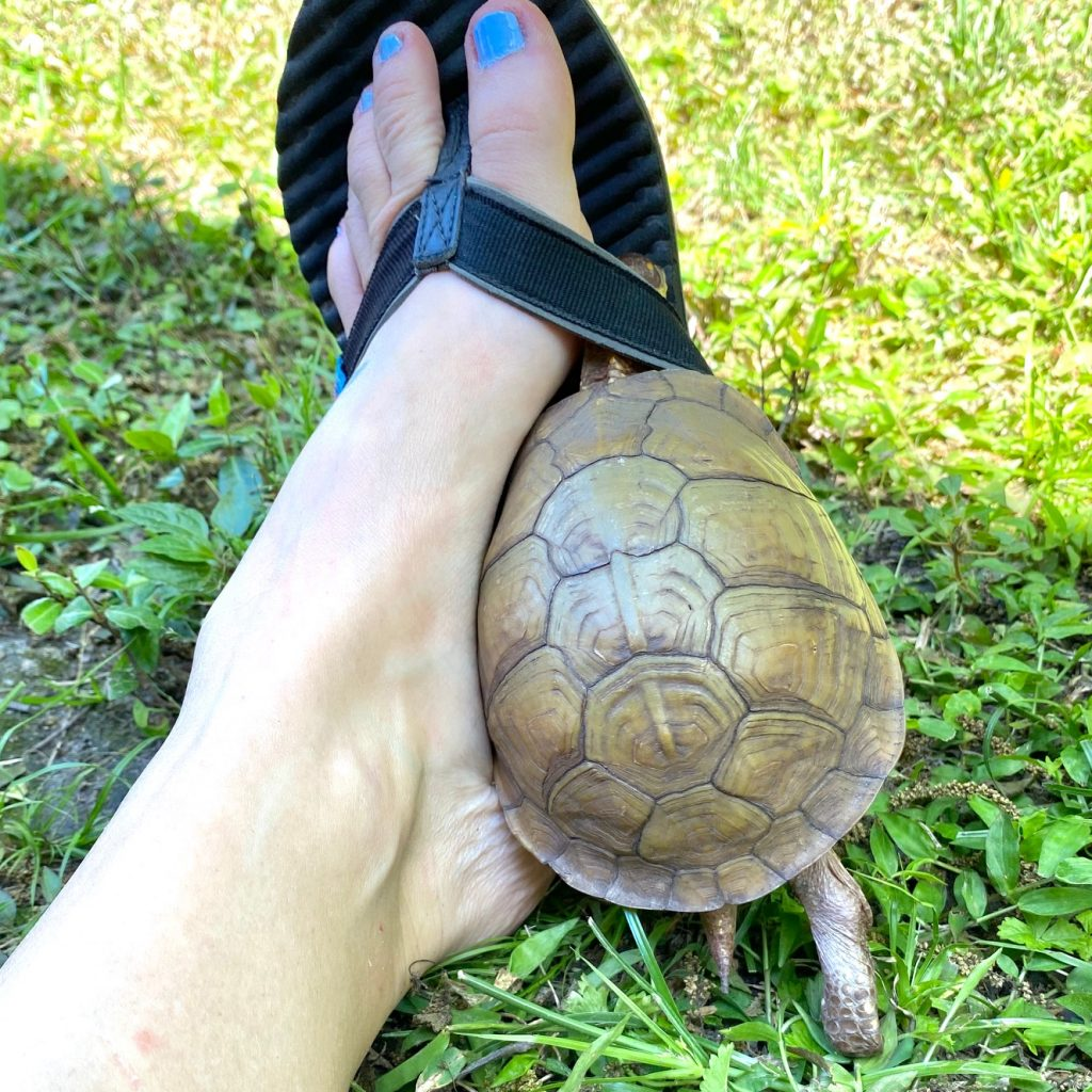 box turtle with flipflop