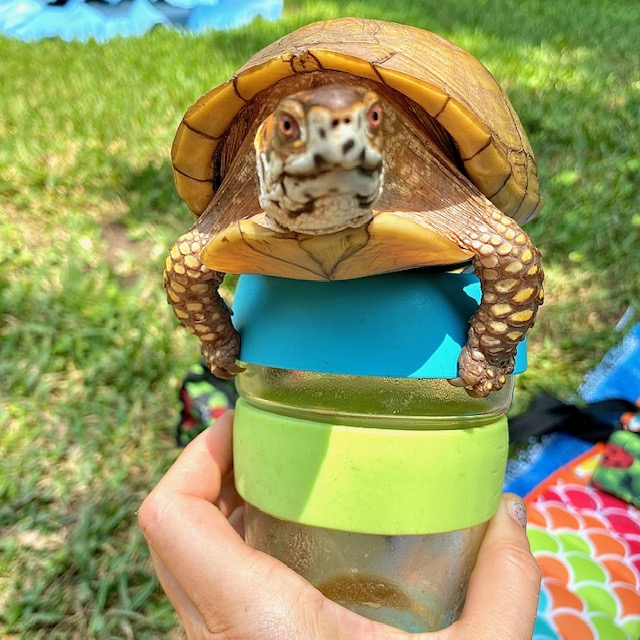 box turtle on KeepCup