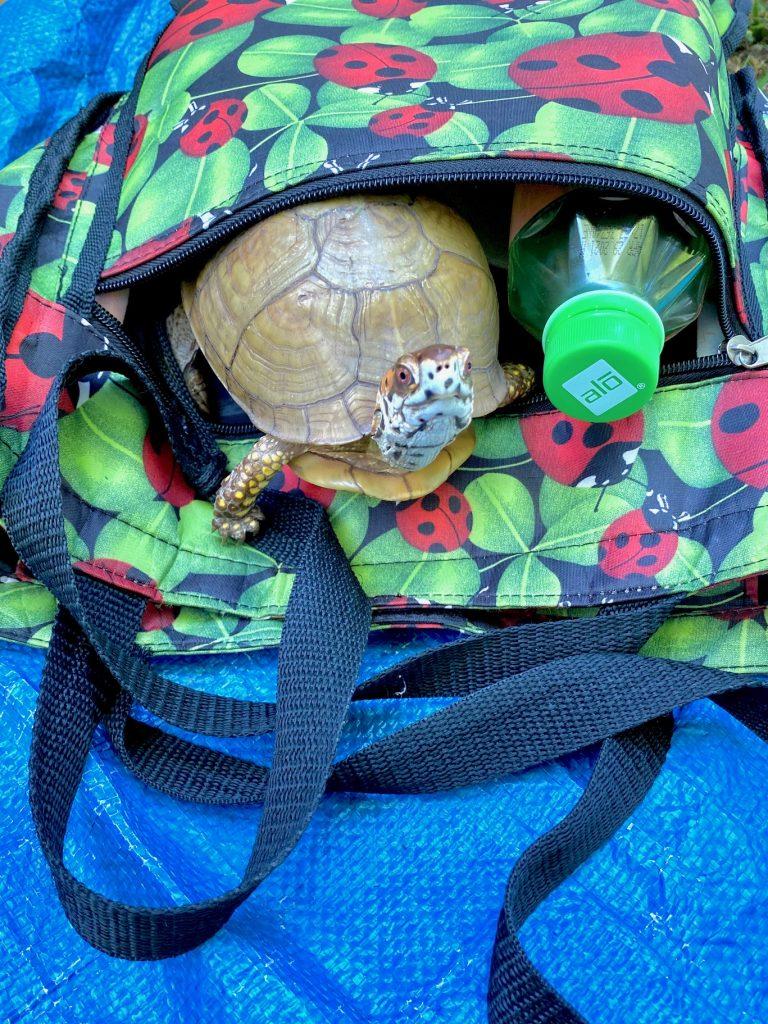 box turtle in ladybug bag