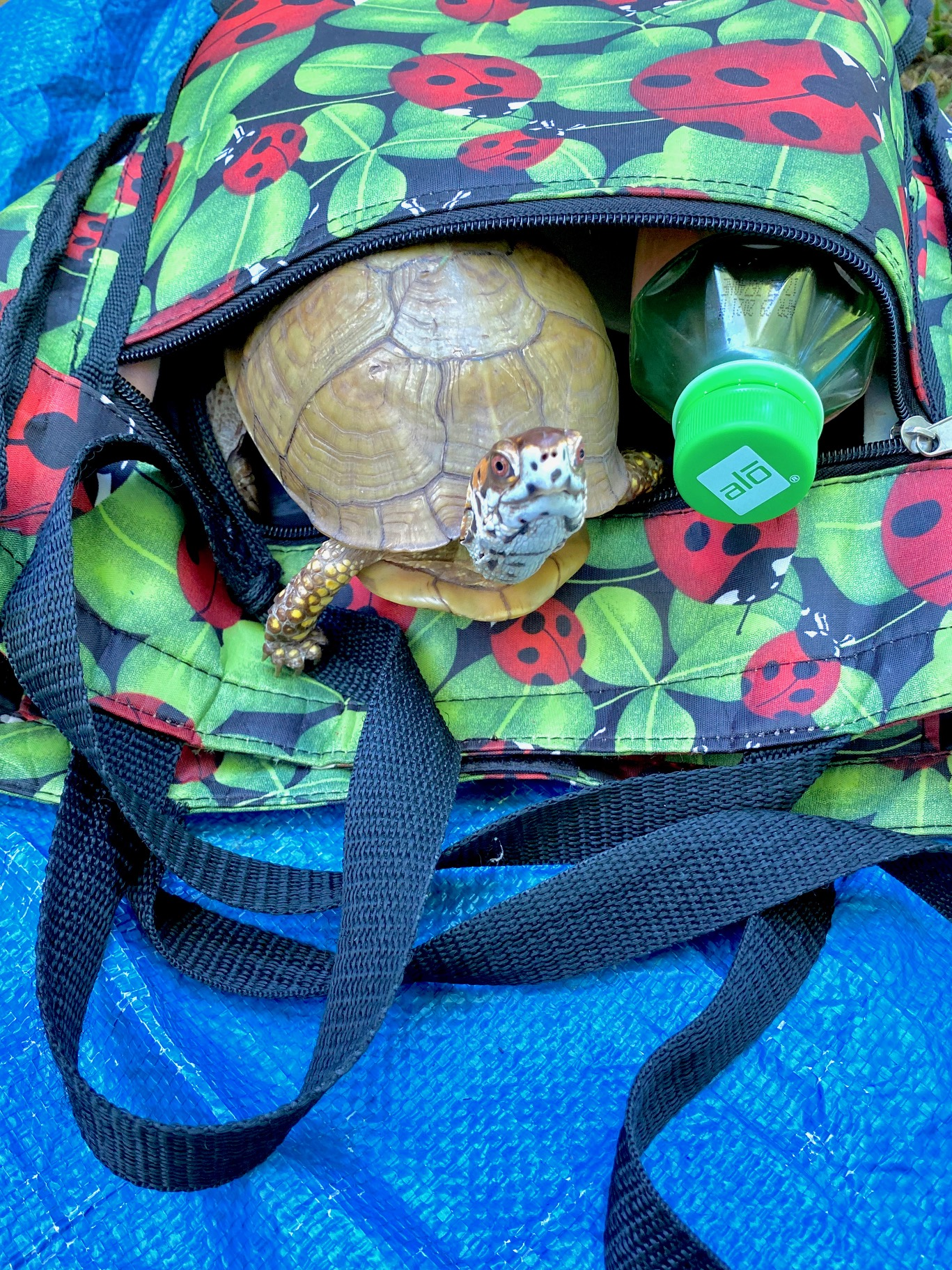 box turtle in ladybug bag