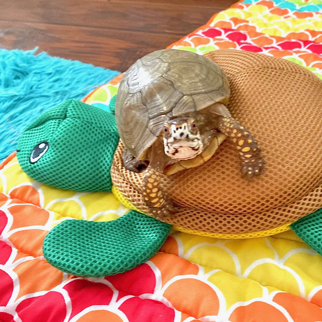 box turtle sits on toy turtle