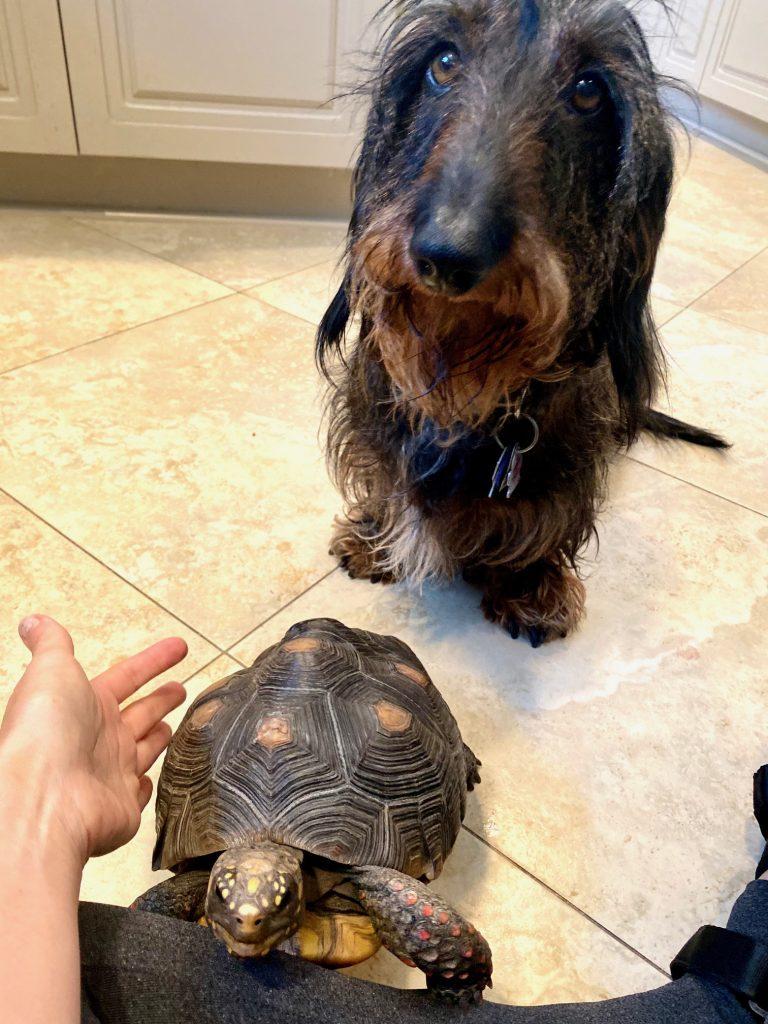tortoise with dachshund friend